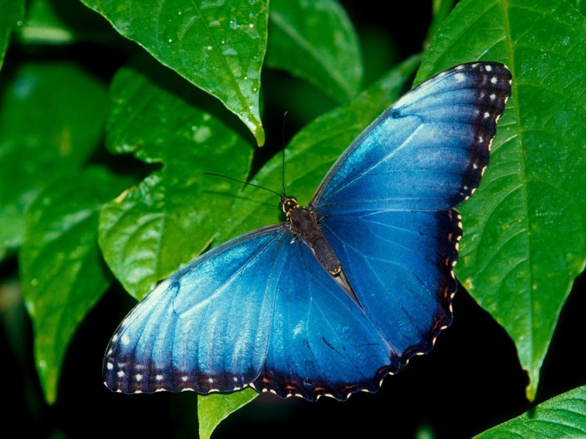 бабочка абано2